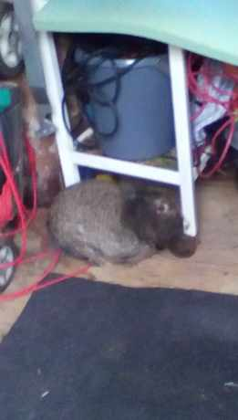 Found Lop Eared Rabbits in Wingland