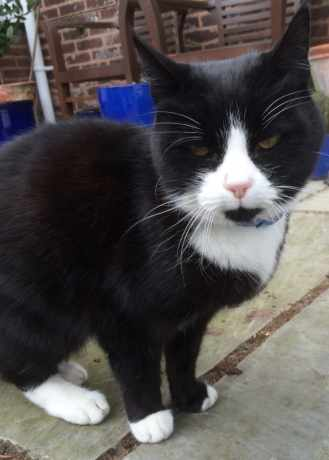 Found Domestic Short Hair Cat in Little Aston