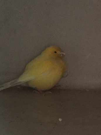 Found Canary Birds in Eltham