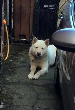 Found Akita Dog in Stockport