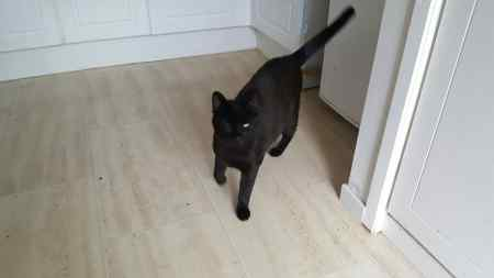 Found Domestic Short Hair Cats in Macclesfield