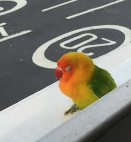 Found Lovebird Birds in Clarendon Road, Hove