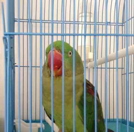 Found Parrot, Parakeet Bird in Shipley