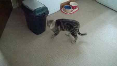Found British Short Hair Cat in Newton Poppleford, Burrow