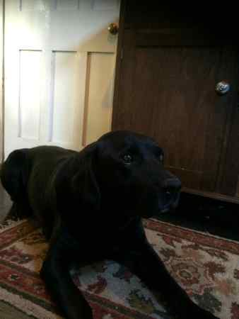 Found Labrador Dog in Henton