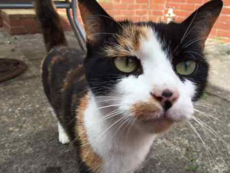 Found Tortoiseshell Cat in Coseley