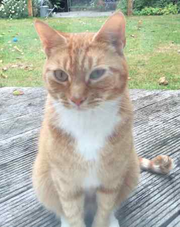 Found British Short Hair Cat in Wokingham