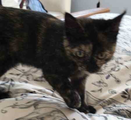 Found Tortoiseshell Cat in Bishops Waltham