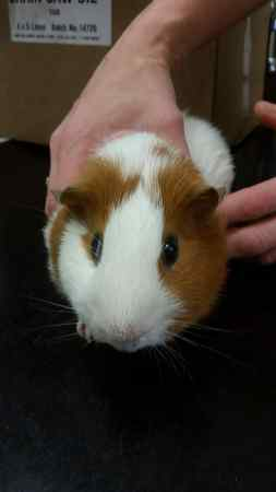 Found Guinea Pig Exotics in Nettlebed