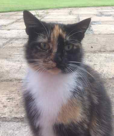 Found Tortoiseshell Cats in Poulton Nr Pulford