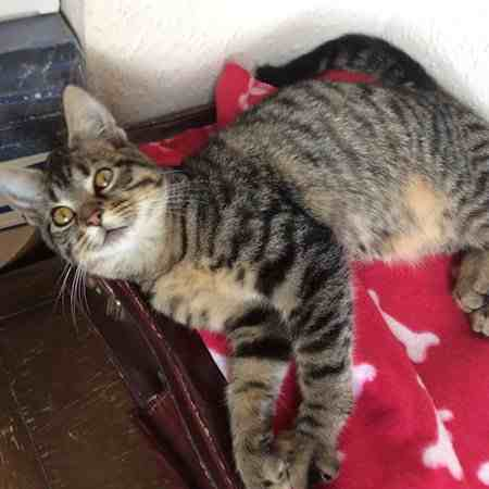 Found Tabby Cat in Coventry