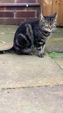 Found Tabby Cat in Linton