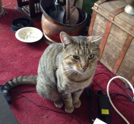Found Tabby Cat in Tiptree