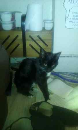Found Domestic Short Hair Cats in Waterloo, Liverpool