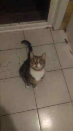 Found Tabby Cat in Acton Town