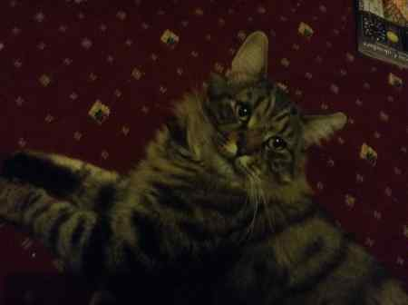 Found Maine Coon Cat in Pudsey