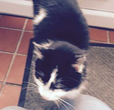 Found Mixed Breed Cat in Tudeley