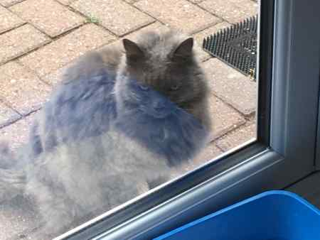 Found Semi-Long Hair Cat in Crays Hill, Billericay