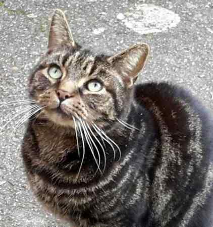 Found Tabby Cat in Culverhayes,Chard