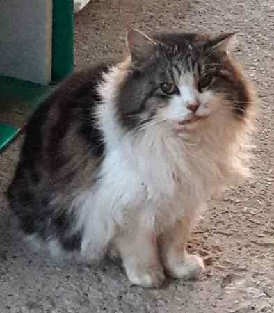 Found Maine Coon Cat in Sheffield