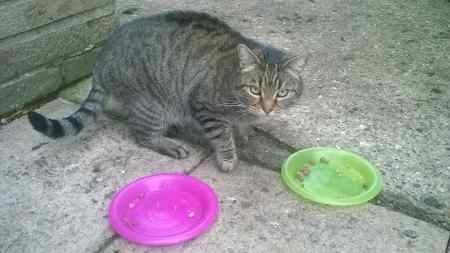 Found Domestic Short Hair Cats in Old Newton