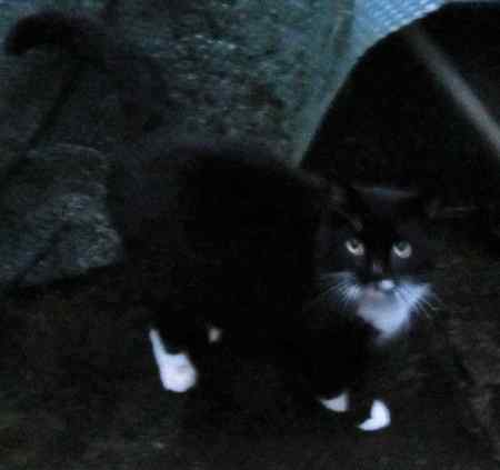 Found Domestic Short Hair Cats in Barnet, London