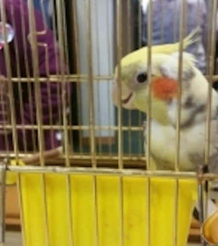 Found Cockatiel Bird in Thornaby
