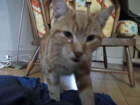 Found Domestic Short Hair Cats in Newtownabbey