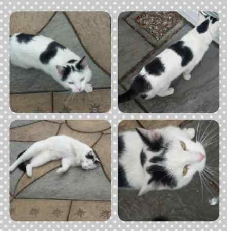 Found Domestic Short Hair Cats in Birmingham