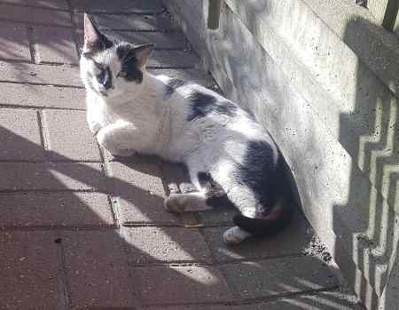 Found Domestic Short Hair Cats in North West London