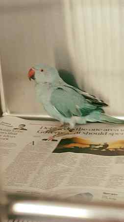 Found Parrot, Parakeet Bird in Doncaster