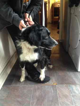 Found Collie Dog in Pensnett, Brierley Hill