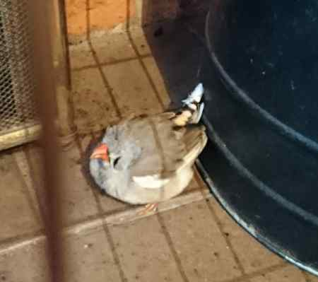 Found Zebra Finch Bird in Drakes Broughton