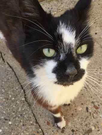 Found Domestic Short Hair Cat in West Watford