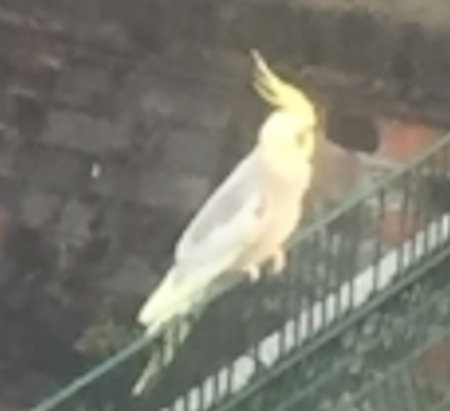 Found Cockatiel Bird in Stepney
