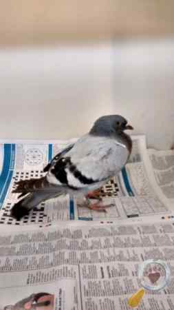 Found Pigeon Bird in Brynmawr,