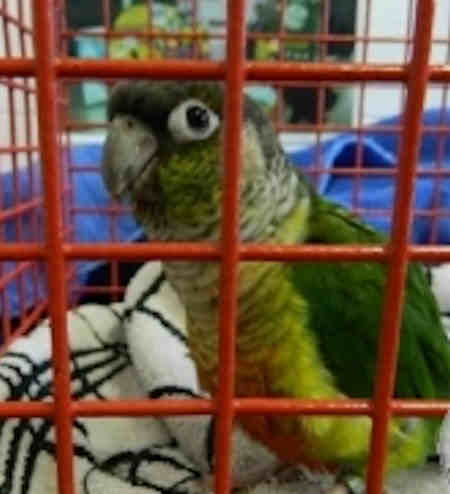 Found Parrot, Parakeet Birds in Howards Close, Woking