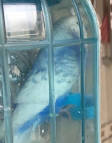 Found Budgie Bird in Connaught Road, Ilford,