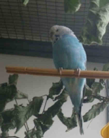 Found Budgie Bird in Cubbington Road, Leamington Spa,