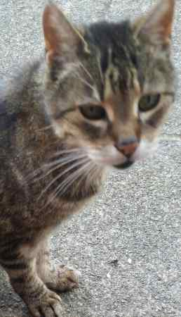 Found Domestic Short Hair Cats in Newton-le-Willows
