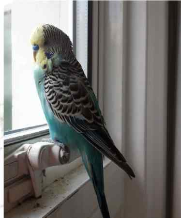 Found Budgie Bird in WALLINGTON