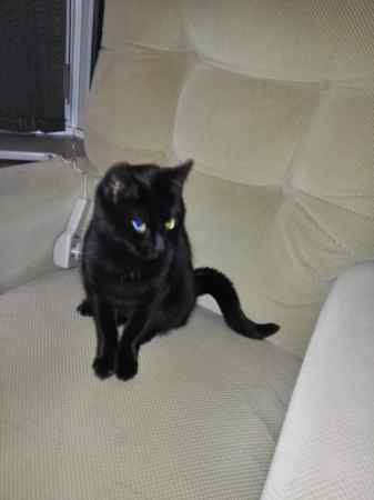 Found Domestic Short Hair Cats in Leamington Spa