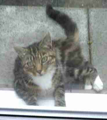 Found Domestic Short Hair Cats in Lodge Park Redditch