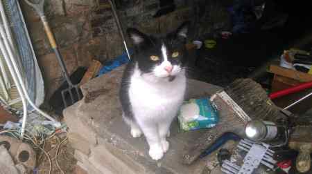 Found Moggy Cat in Glossop