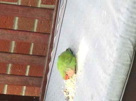 Found Lovebird Birds in Taunton