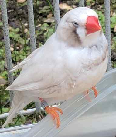 Found Zebra Finch Bird in Southampton