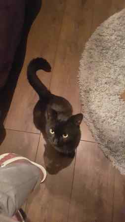 Found Domestic Short Hair Cats in Stevenage