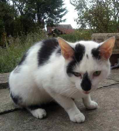 Found Domestic Short Hair Cat in Quarry Bank Brierley Hill
