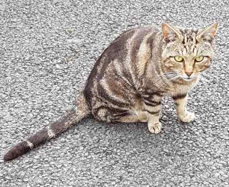 Found Tabby Cat in HANDFORTH