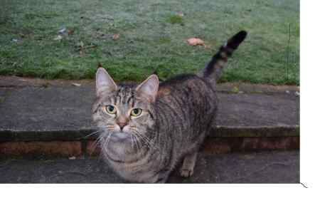 Found Tabby Cat in Enfield